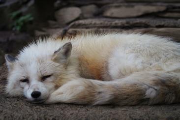 【東日本鐵道假期】【仙台地區】活用計程車輕鬆前往狐狸村