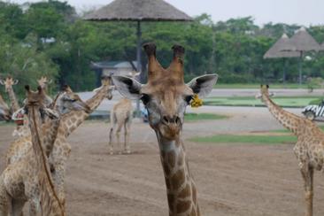 【泰國】來去餵長頸鹿.親子行Safari World一日遊(L tour)