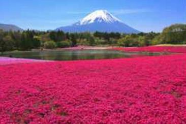 【東日本鐵道假期】富士芝櫻祭一日遊(內含JR東京廣域3日券)