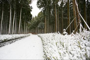 【濟州】濟州島綠茶園・冰雪樂園・白色森林・山茶樹園 自助一日遊