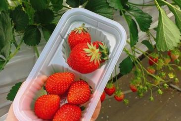 【東日本鐵道假期】山梨見晴園烤肉+採草莓吃到飽一日遊(內含JR東京廣域3日券)