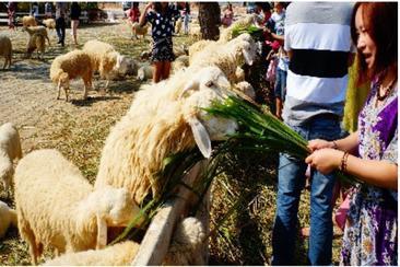 泰國華欣瑞士綿羊牧場門票(Swiss Sheep Farm)