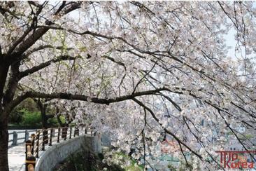 【韓國賞櫻】全州粉紅限定 八重櫻花一天團