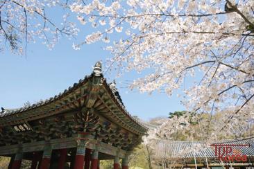 【韓國慶州】慶州古城櫻花油菜花一天團