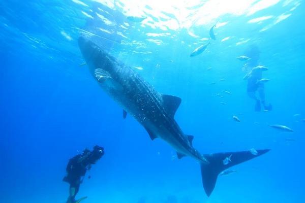 【高雄直飛】宿霧玩很大~鯨鯊共舞.沙丁魚風暴.薄荷島.資生堂雙跳島六日(2人成行)