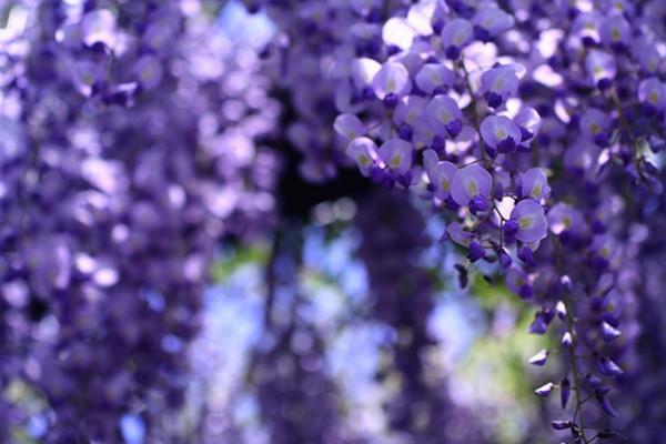 【日本黃金週限定團】《幸福關西》MIHO桃花源、遇見紫色愛情雨~浪漫紫藤花季5日*******日本黃金週限定~限日前十名即可1元加購贈小費!*******