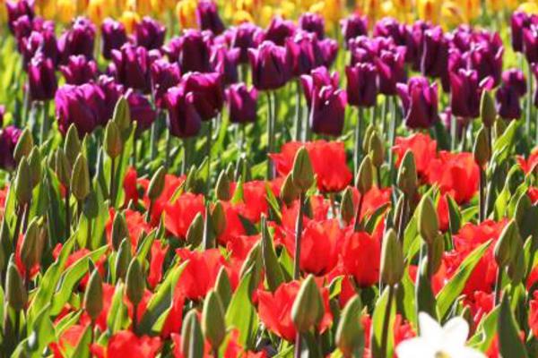 魅力歐洲!法比荷(兩點進出)~鬱金香花季、羅浮宮、浪漫萊茵三遊船八日