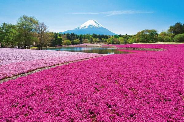 【雪牆之戀】立山、紫藤花、富士芝櫻、合掌村、上高地、飛驒點心、東京5日