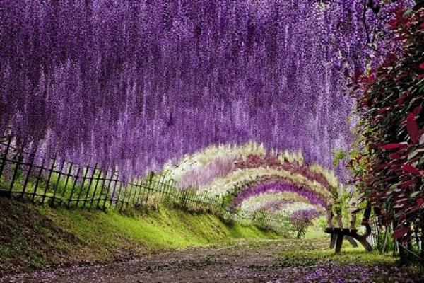 【九州藤花季】河內藤園、熊野神社、九重花公園、別府纜車、湯布院5日