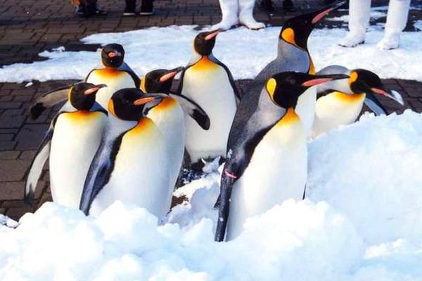 【北海道玩雪 PAK】璀璨函館、海洋尼克斯、札幌摩天輪、品蟹湯泉5日(BR138/165)