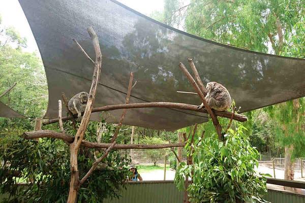 【擁抱無尾熊】雪梨黃金雙城8日~農莊、酒莊、觀景台、雪梨夜景、野生袋鼠