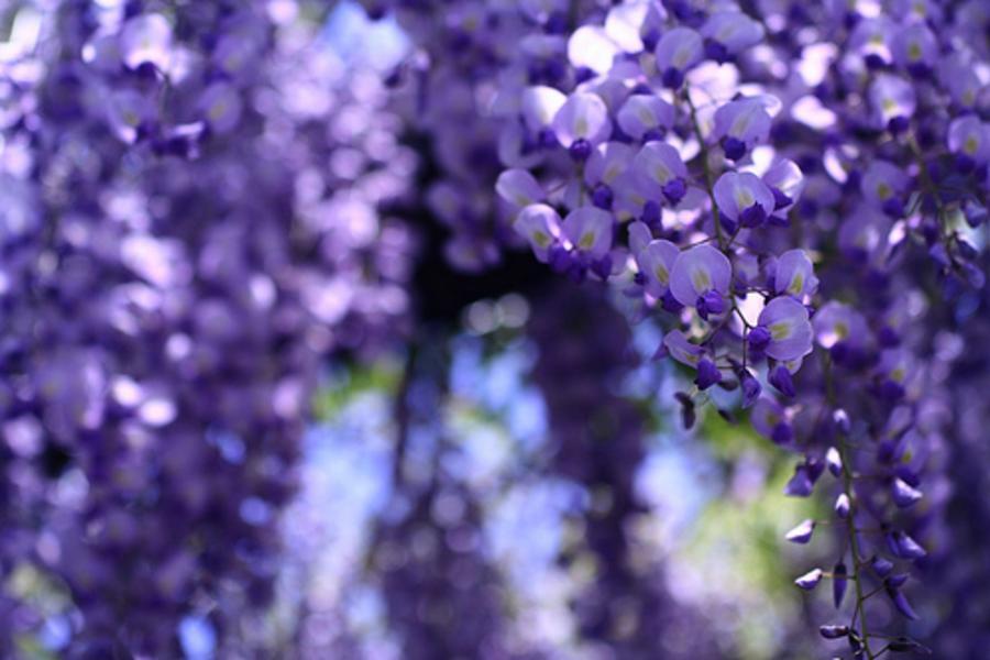 【日本黃金週限定團】《幸福關西》MIHO桃花源、遇見紫色愛情雨~浪漫紫藤花季5日