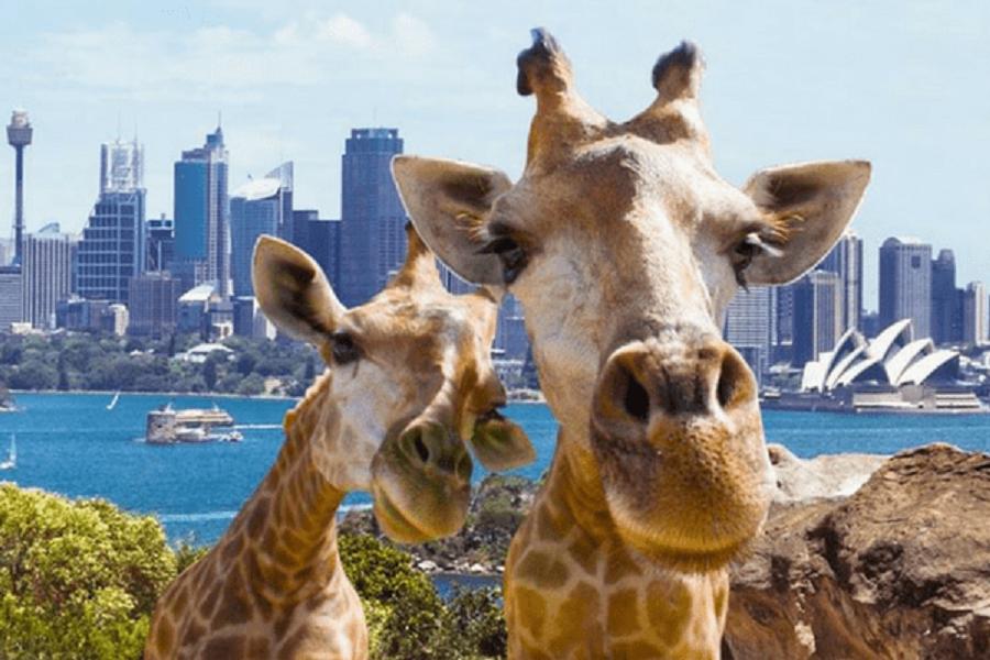 【賺很大】雪梨~百年塔隆加動物園、歌劇院入內、藍山纜車、雪梨遊船7日