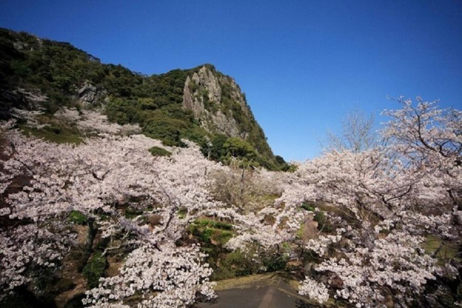 【春櫻愛福岡】鬱金香櫻花季、太宰府旅人列車、湯布院小鎮、百選櫻公園5日