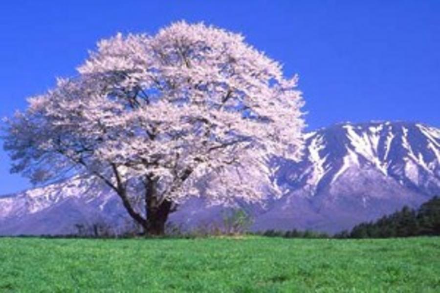 【東北櫻花雪舞】銀色雪廊、奧入瀨溪、春季採草莓、溫泉美人湯5日
