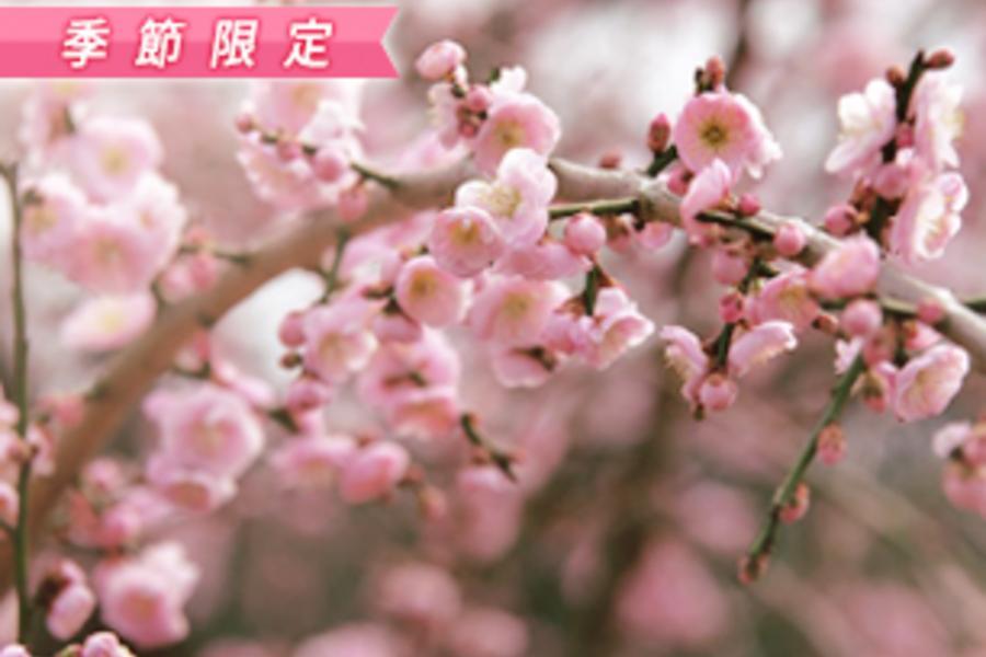 紀州名湯~梅與莓的邂逅+京都風情五日