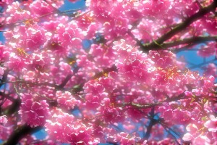 北海道超值版*浪漫春櫻.札幌趴趴走螃蟹放題春曉5日(千歲、千歲)