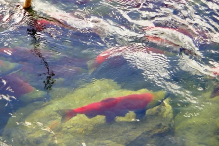 加拿大落磯山脈 鮭魚迴游 雙堡 豐富十日之旅