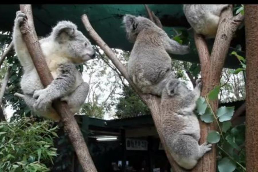 雪梨 藍山 塔隆加動物園六日
