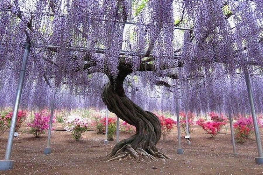 【九州藤花季】河內藤園、熊野神社、九重花公園、太宰府旅人、湯布院5日