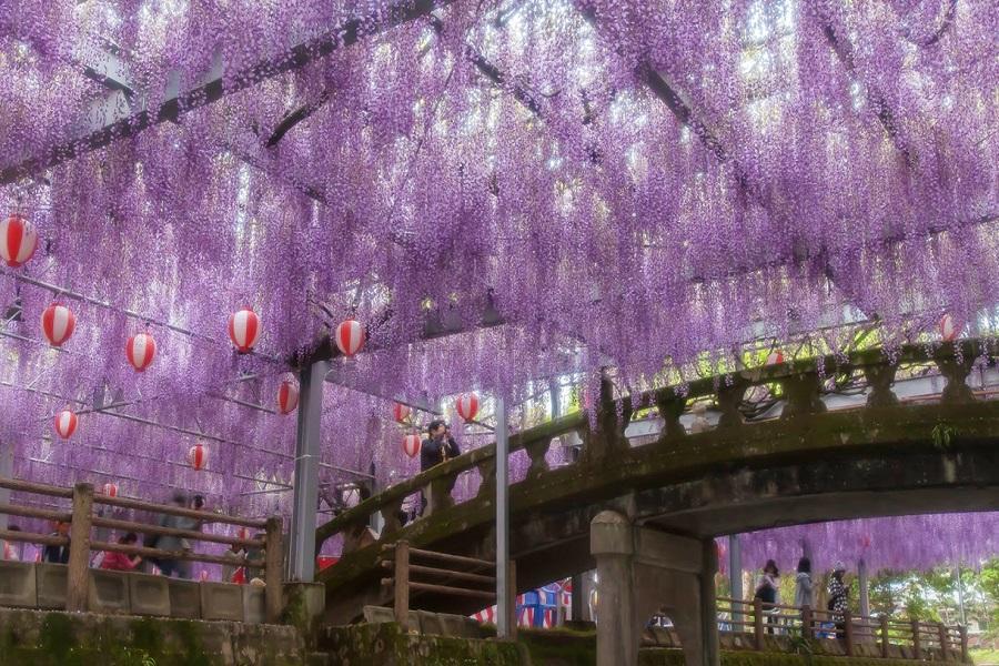【九州藤花季】吉祥寺公園、熊野神社、九重花公園、別府纜車、湯布院5日