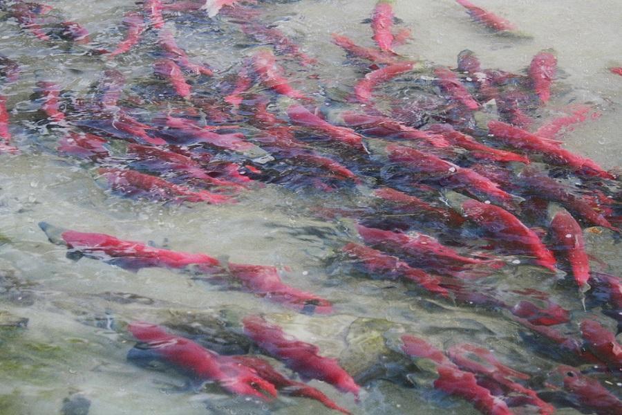 加拿大洛磯山脈 鮭魚迴遊 露易絲湖 班夫 纜車 迷你彩虹船 九日