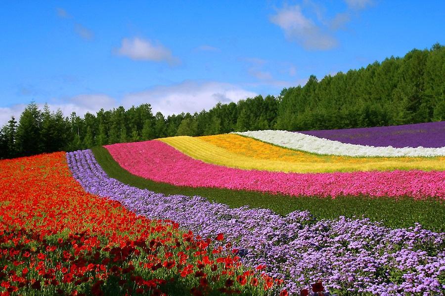 【北海道風情趣】富良野花繽紛、函館百萬夜景、企鵝趴趴走、溫泉美人湯5日