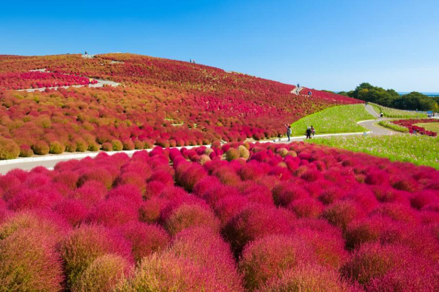 【歡笑秋紅】常陸掃帚草、足利花卉、川越小江戶、輕井澤、東京迪士尼5日