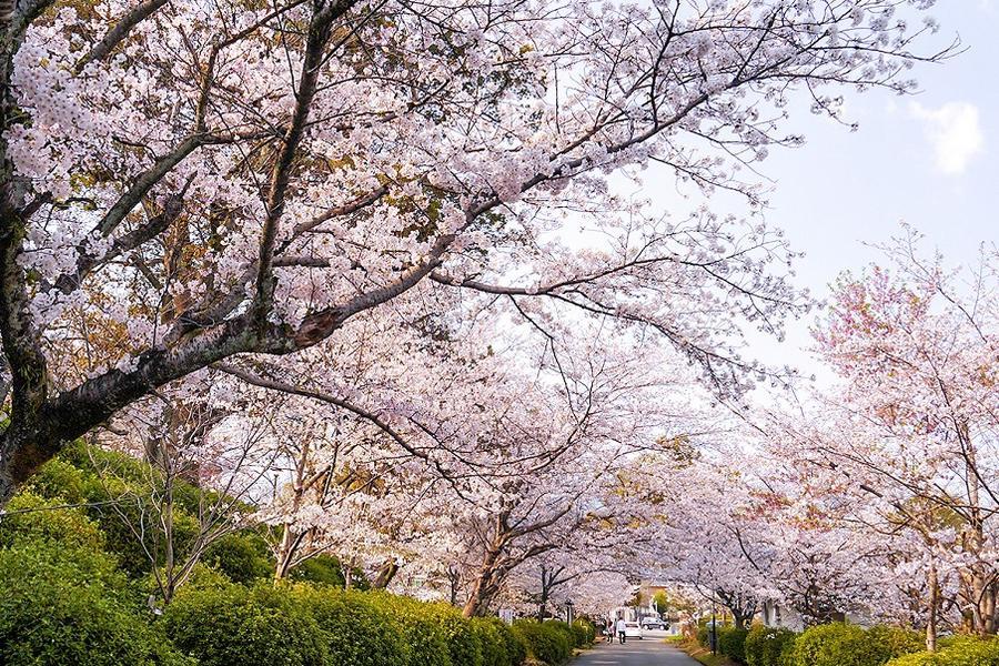 【春櫻豪斯登堡】九十九島船.久住花公園.御船山.夢吊橋.唐戶市場6日