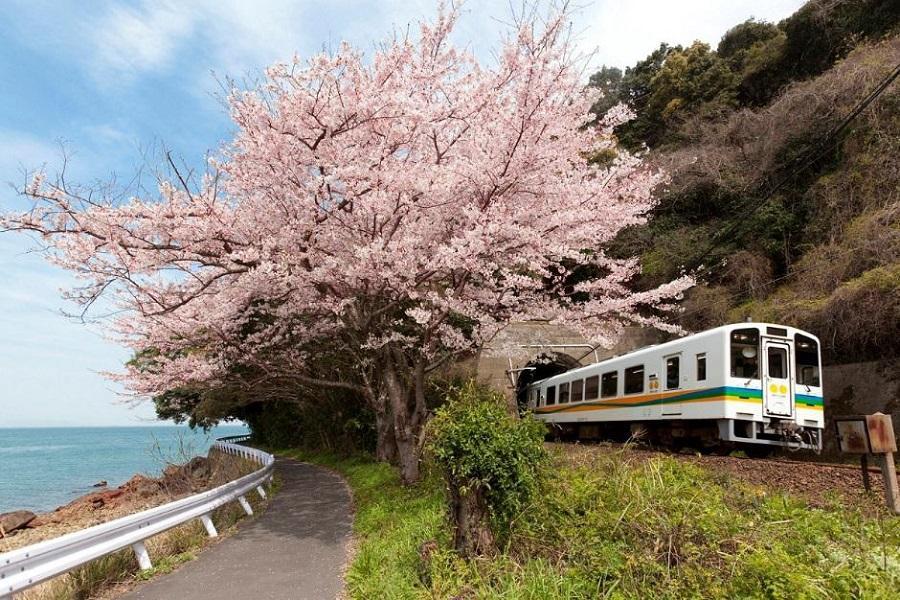 【櫻花九州鐡道慢旅】肥薩橙咖啡列車、舞鶴公園、磯庭園抺茶、指宿沙浴6日