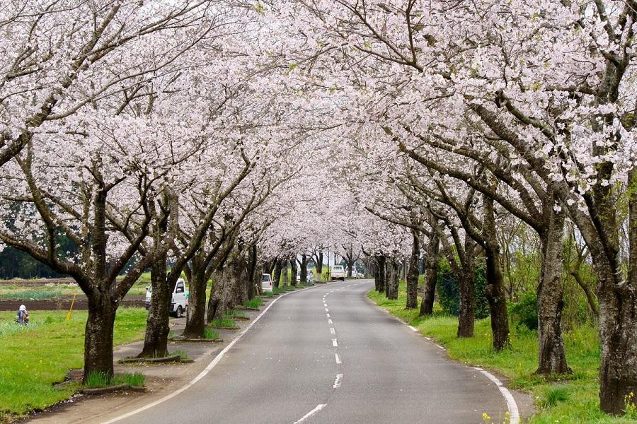 【超值南九州櫻花祭】幸福摩艾像、母智丘公園、垂水公園、櫻島砂浴5日