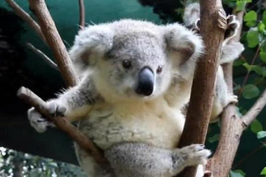 【送雪梨夜景】精彩雪梨藍山6日~雪梨塔、纜車、遊船、無尾熊