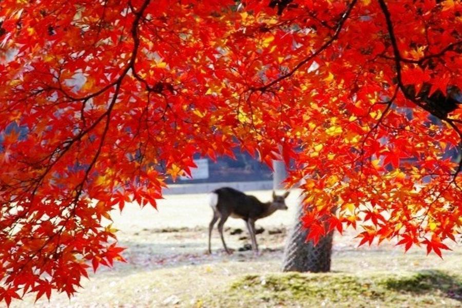 【紅葉童話】秋楓幸福關西●限量團~京阪神悠遊‧歐風香頌‧環球夢飛翔5日