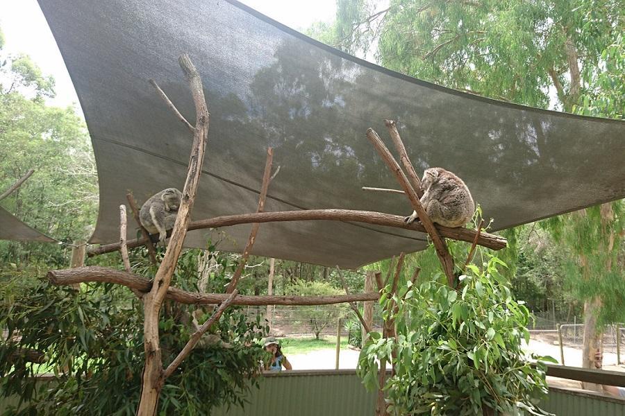 玩樂澳洲 【無尾熊抱抱】黃金雪梨雙城七日~天堂鄉農莊、螢火蟲、遊船BS