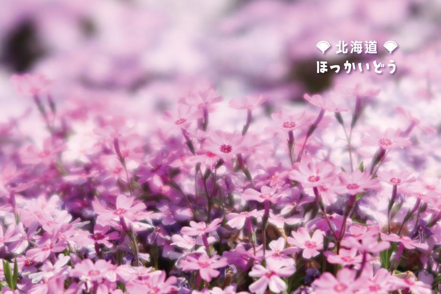 【北海道百選阿寒鶴雅】釧路濕原、熱汽球體驗、芝櫻鬱金香、春櫻品蟹5日