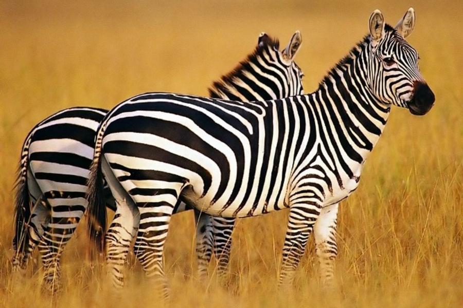 探索肯亞、安伯塞利國家公園、馬賽馬拉保護區、動物遊獵之旅10日(含稅簽)