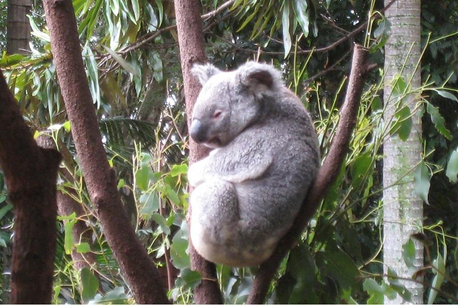【送無尾熊抱抱合照】黃金海岸六日~庫倫濱動物園、遊艇、拜倫灣、螢火蟲