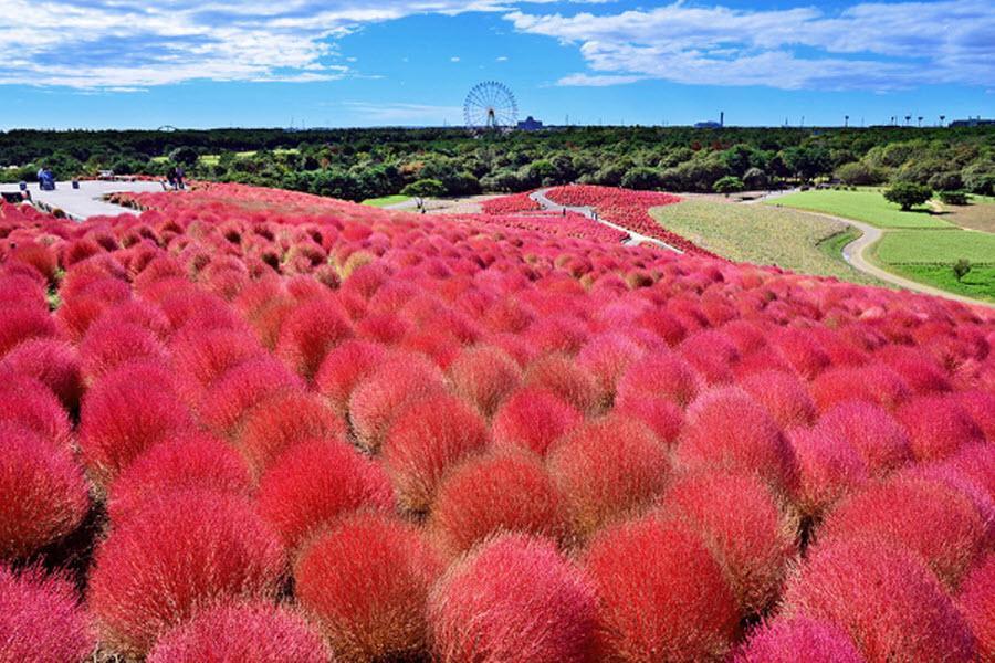 【歡笑秋紅】常陸掃帚草、足利花園、川越小江戶、輕井澤、東京迪士尼5日