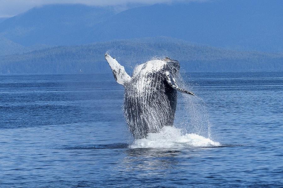【邂逅藍鯨】斯里蘭卡美瑞莎賞鯨、野生國家公園、英倫茶園、立釣、火車8日