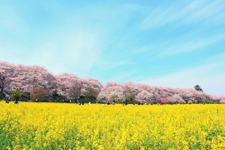 【櫻花遊宇部】大分油菜花海、御船山樂園、湯布院小鎮、湯田嬉野三湯宿5日