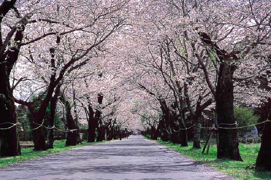 【宮崎櫻花祭】母智丘公園、忠元公園、隼人之風列車、幸福摩艾像、櫻島5日