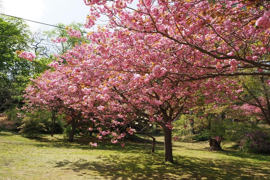【北海道櫻花情事】松前公園.有珠善光寺公園.青葉ヶ丘公園.圓山公園5日