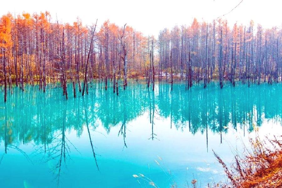 【楓迷北海道】美瑛青池、大雪山纜車、圓山動物園、紅葉掃帚草、三螃蟹5日