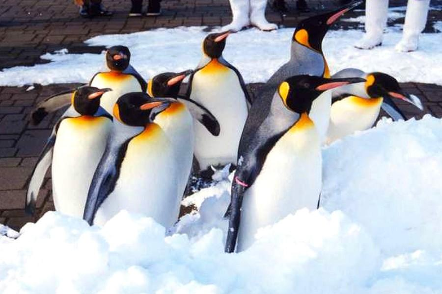 【北海道玩雪PAK】璀璨函館、海洋尼克斯、札幌摩天輪、品蟹湯泉5日(BR138/115)