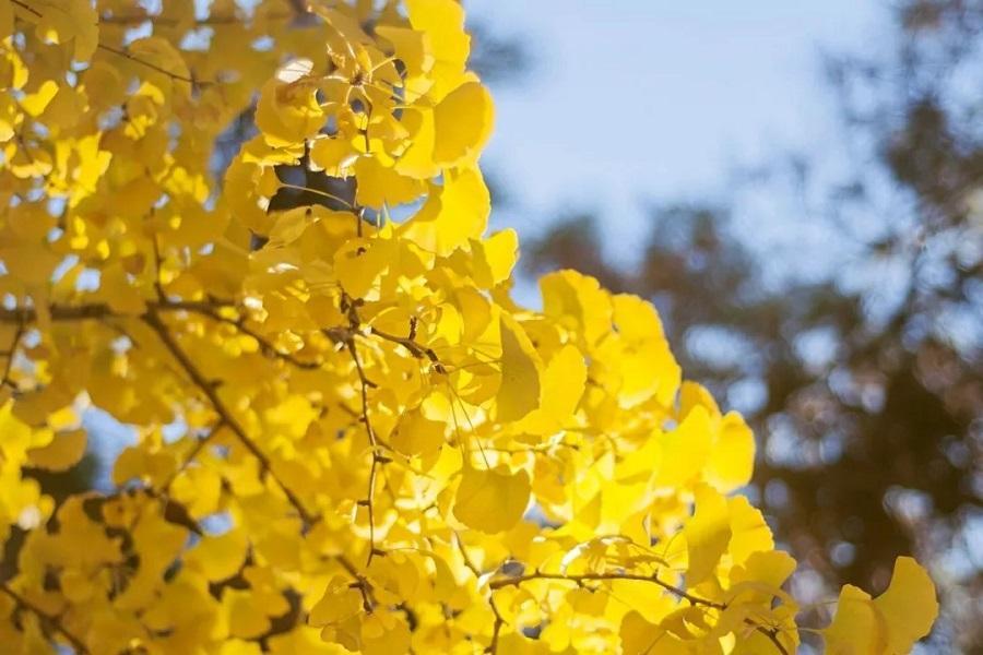 【秋意上貴州】黃果樹瀑布、織金洞、萬峰林、紅楓湖、妥樂銀杏金黃誘惑8日