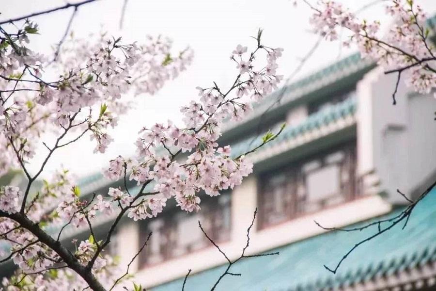 【那年花開湖北時】清涼寨杜鵑、沙洋油菜花、武漢大學&東湖櫻花8日