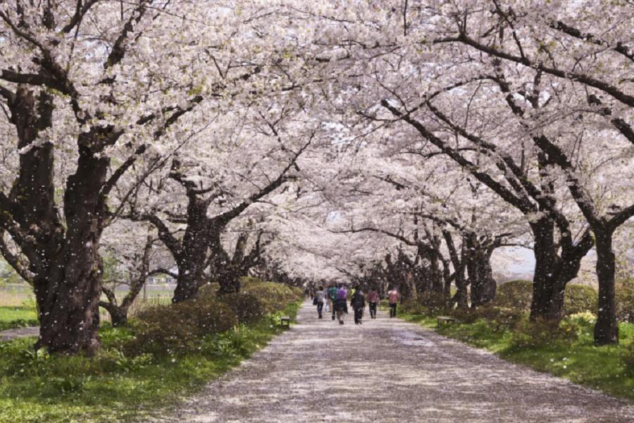 【東北三大賞櫻名所】銀色雪廊、奧入瀨溪、松島鐵道騎士5日(仙台/青森)