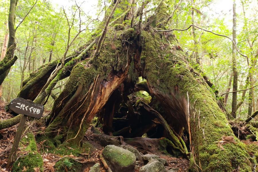 【主題旅遊】屋久島輕健行之旅五日~世界自然遺產、魔法公主森林