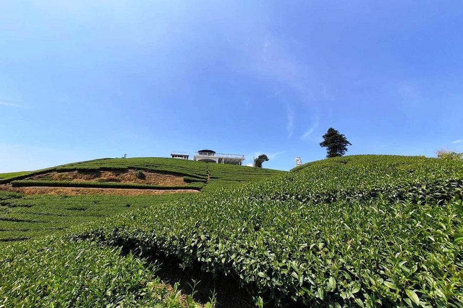 【四人成行小包團】 嘉義太平雲梯、1314無敵茶園景觀、鰲鼓濕地、山海一線牽2日