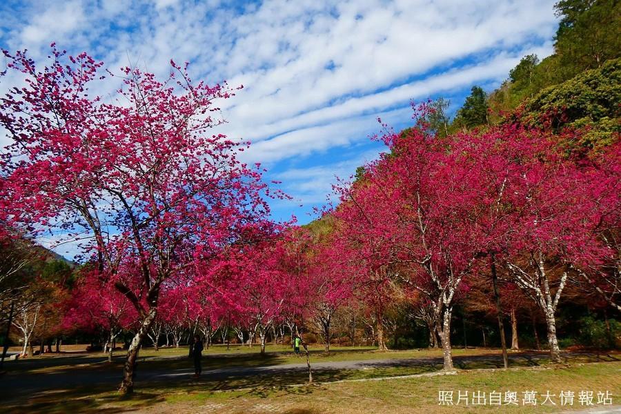 【南投】奧萬大賞櫻.歐風清境.天空步道二日遊